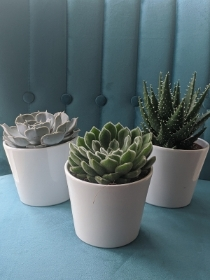 Medium Succulents